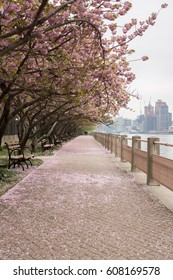 Cherry Blossom Trees along Walkway in Roosevelt Island, New York