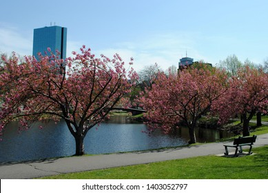 Cherry blossom trees bloom in the Esplanade.