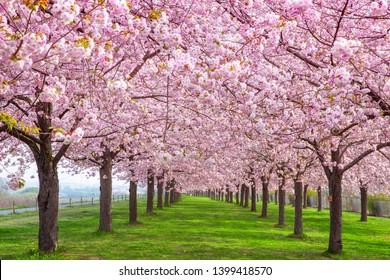 Cherry blossom trees Chikuma River River Park / Obuse Town, Nagano Prefecture, Japan