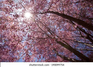 Cherry blossom trees in Flushing meadows corona park at New York City during spring.