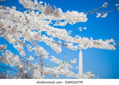Cherry blossom trees in full bloom in Washington, DC at the Washington Monument