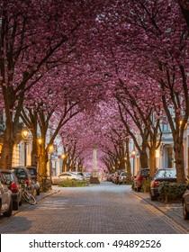 Cherry Blossom Trees, Heerstrasse, Bonn, Germany