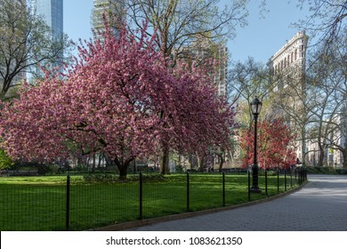 Cherry blossom trees in Madison Square park in New York City