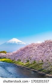 Cherry blossom trees and Mt.Fuji at Ryuganbuchi, Fuji City, Shizuoka Prefecture