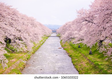 Cherry blossom trees or sakura  along the bank of Funakawa River in the town of Asahi in Toyama Prefecture  Japan.