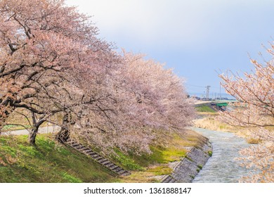 Cherry blossom trees or sakura  along the bank of Funakawa River in the town of Asahi , Toyama Prefecture  Japan.