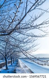 Cherry blossom trees, wonderful snow tunnel
