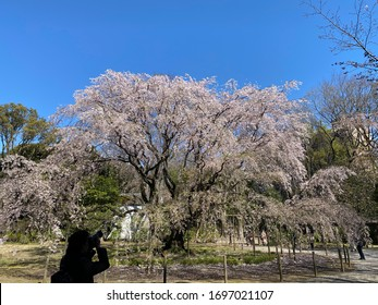 Cherry blossom under blue sky with silhouette of photographer
