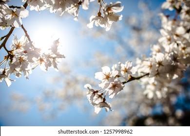 Cherry blossom under the sun.