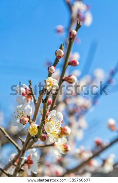 Cherry Blossom Varieties Somei Yoshino On Stock Photo Edit Now