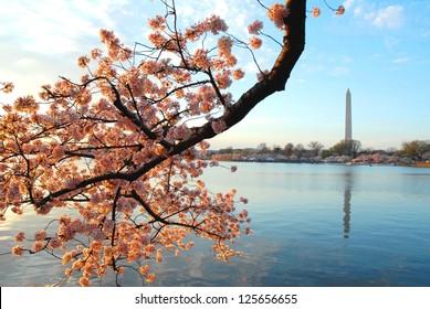 Cherry Blossom in Washington DC, USA