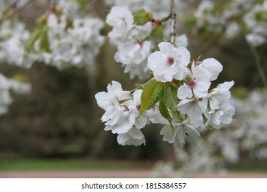 cherry blossom in white, Spring in the United Kingdom