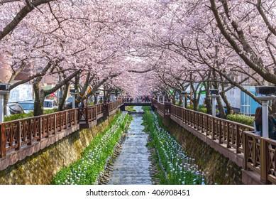 Cherry blossom at Yeojwacheon Stream, Jinhae sakura festival, Jinhae, South Korea