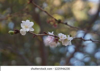 Cherry blossome season3