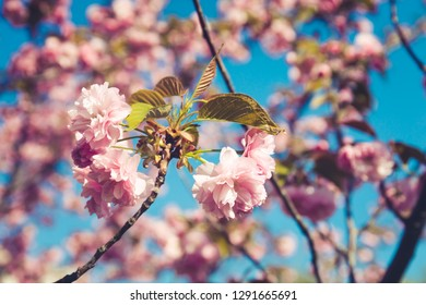 Cherry blossoming in the sunshine. Spring and tranquil nature concept. Toned image. Horizontal
