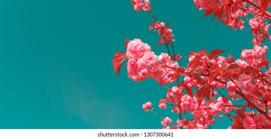 Cherry blossoming in the sunshine. Spring and tranquil nature concept. Futuristic saturated toned image. Horizontal, wide screen banner format