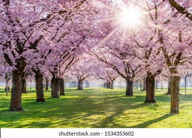 Cherry blossoming trees and sun light in park. Sakura Cherry blossom alley. Wonderful scenic park with rows of flowerind cherry sakura trees and green lawn in spring, Germany.  Sun rays in pink bloom