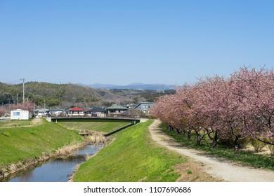 Cherry blossoms along the Goten River