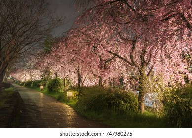 Cherry blossoms along the Kamo River, Kyoto, Japan, lit up at night.
