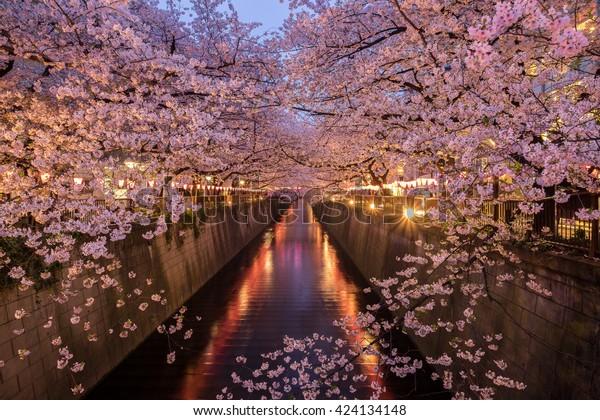 Fleurs de cerisiers le long du fleuve Meguro, Tokyo Japon