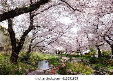 Cherry blossoms along the pedestrian path, Tachikawa, Tokyo, Japan