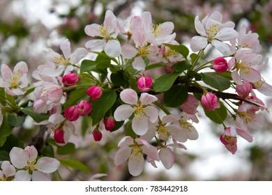 Cherry Blossoms around DC