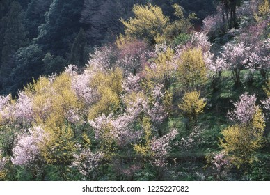 Cherry blossoms and Asiatic dogwood