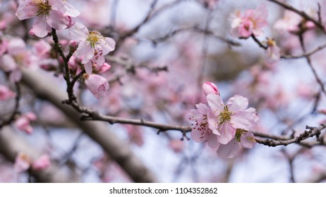cherry blossoms with the background of other flowers of the same tree in blur