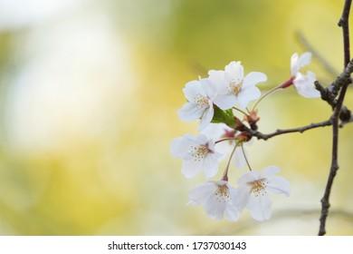 桜は柔らかい光を浴びた
