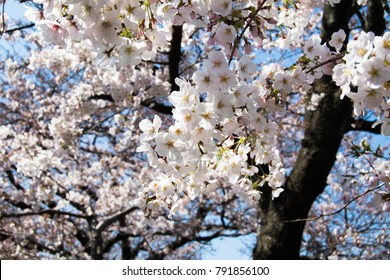 Cherry blossoms are bloom in Fukuoka city, JAPAN.