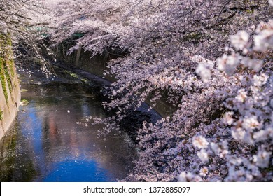 Cherry blossoms bloom in full bloom along the river. Tokyo, Japan.