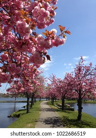 Cherry blossoms in bloom on sunny Spring Day in Babylon, Long Island, New York