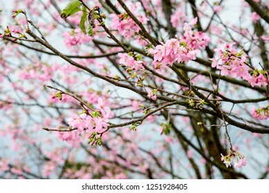 Cherry blossoms bloom in the spring season