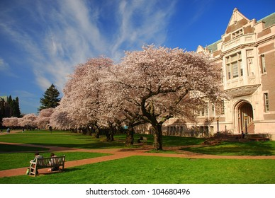 Cherry blossoms in bloom, University of Washington campus, Seattle, WA.