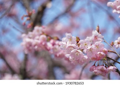 Cherry blossoms blooming in early March in Japan