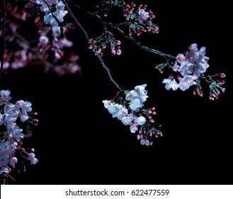 Cherry blossoms blooming at midnight