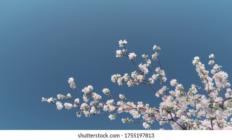Cherry blossoms blooming in the spring. Spring branch with young flowers and leaves against a blue sky. Image with space for text.