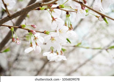 Cherry blossoms, cherry blossoms are blooming in spring, cherry blossoms are fragrant. The flowers are white and pink, Cherry Blossom is a popular cosmetic and perfume, popularly known as Sakura.