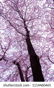 Cherry blossoms blooming in spring of Japan