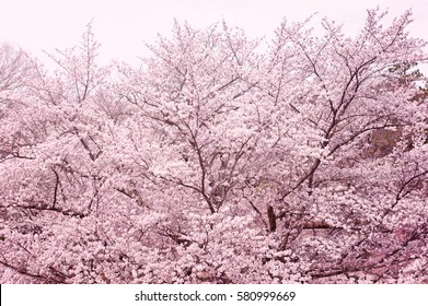 Cherry blossoms, cherry blossom trees