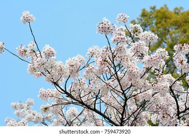Cherry blossoms and blue sky in Fukuoka prefecture, JAPAN.