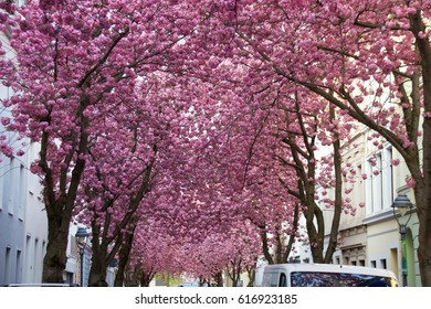 Cherry blossoms in Bonn, Heerstraße