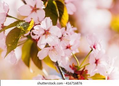Cherry blossoms branch.