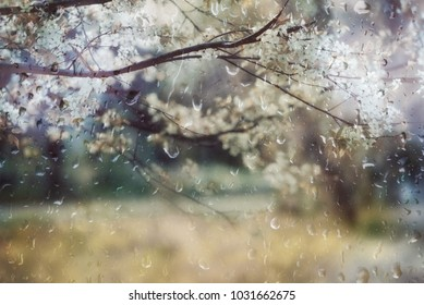 Cherry blossoms branch behind glass with rain drops background in muted pastel colours.
