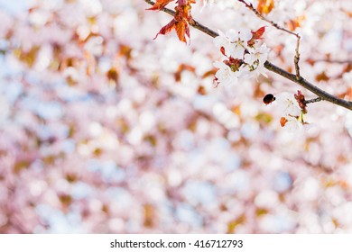 Cherry blossoms branch with bumble bee flying to flower