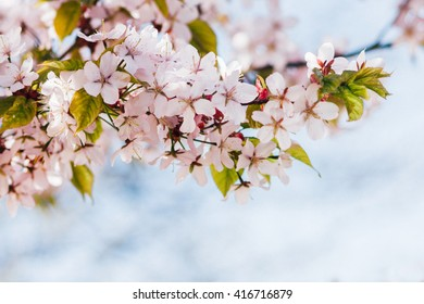 Cherry blossoms branch. Spring background