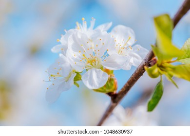 Cherry blossoms branch at spring garden.