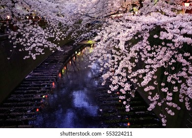 The cherry blossoms by night which bloom in a bank on a river