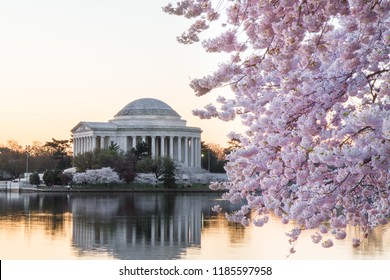 Cherry blossoms by the Thomas Jefferson Memorial on the Tidal Basin in Washington DC at sunrise