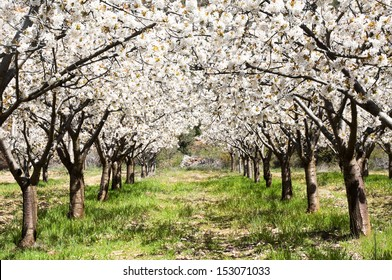Cherry blossoms, Caderechas valley (Spain)